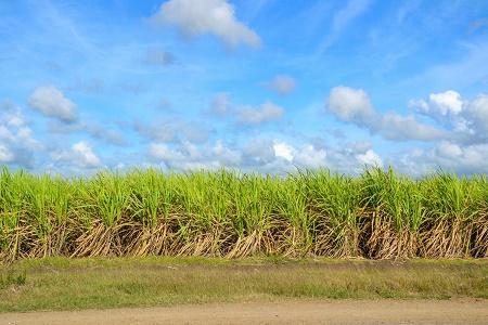 Zuckerrohrplantage